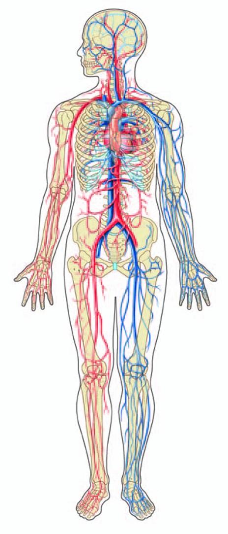 Indian Human Blood Circulatory System Human Blood Circulatory